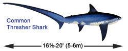 Thresher shark skeleton